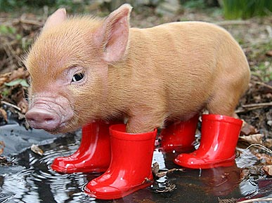 Piggie in Red Boots